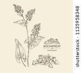 buckwheat  plant and buckwheat... | Shutterstock .eps vector #1135958348