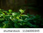 leaves mint pepper mint mint... | Shutterstock . vector #1136000345