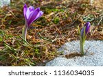colorful blooming purple violet ... | Shutterstock . vector #1136034035