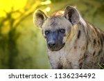 spotted hyena  crocuta crocuta  ... | Shutterstock . vector #1136234492