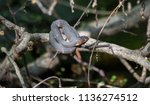 broad banded water snake ... | Shutterstock . vector #1136274512