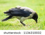 black crow walks on green lawn... | Shutterstock . vector #1136310032