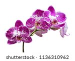 orchird flowers branch isolated ... | Shutterstock . vector #1136310962