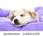 Stock photo closeup of a tired puppy sleeping in its bed against a white background 1136311235