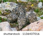a white tailed ptarmigan in... | Shutterstock . vector #1136437016
