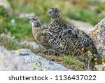 a white tailed ptarmigan in... | Shutterstock . vector #1136437022