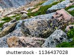 a white tailed ptarmigan in... | Shutterstock . vector #1136437028