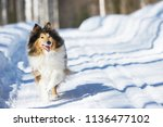 Rough Collie Running In The...