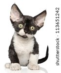 Stock photo devon rex kitten on a white background 113651242