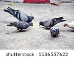 group of pigeon eating grain in ... | Shutterstock . vector #1136557622