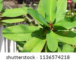 tropical leaf with sunlight   Shutterstock . vector #1136574218