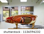 internal organs of pig. pig... | Shutterstock . vector #1136596232