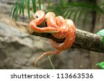 Stock photo corn snake on a branch 113663536