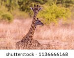 two thornicroft s giraffe ... | Shutterstock . vector #1136666168