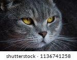 bristish cat portrait | Shutterstock . vector #1136741258