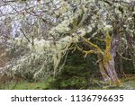 Deciduous Trees With Moss On...