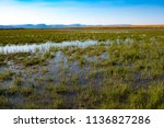 wetland green marsh field with...   Shutterstock . vector #1136827286