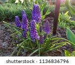 hyacinth bloom  blue muscari... | Shutterstock . vector #1136836796