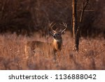 white tailed deer buck with a... | Shutterstock . vector #1136888042