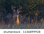 white tailed deer buck with a... | Shutterstock . vector #1136899928