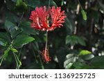 Showy Flower With Recurved...