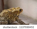 the common toad  near the house ... | Shutterstock . vector #1137030452