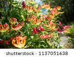 Gloriosa Superba Flame Lily...