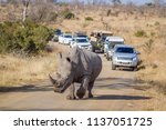 southern white rhinoceros in... | Shutterstock . vector #1137051725