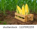 Fresh Corn In A Wooden Box On A ...