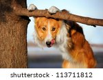 Stock photo cute happy dog makes a funny pose and sticks his tongue 113711812