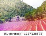 Blooming Lavender Field In...