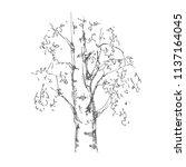 hand drawn birch tree on white... | Shutterstock .eps vector #1137164045
