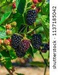 Blackberries Ripening On A Bus...