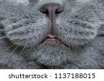 nose and tongue of the cat.... | Shutterstock . vector #1137188015
