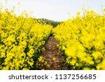 Flowering Rapeseed. Country...