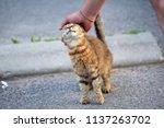 man hand petting a cat . ... | Shutterstock . vector #1137263702