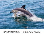 a dolphin swimming off of the... | Shutterstock . vector #1137297632