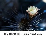 Copiapoa Cactus Blooming With A ...