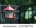 young northern cardinal... | Shutterstock . vector #1137389792