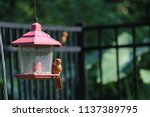 young northern cardinal... | Shutterstock . vector #1137389795