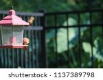 young northern cardinal... | Shutterstock . vector #1137389798