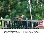female northern cardinal... | Shutterstock . vector #1137397238