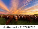 Cattle Grazing In The Pasture...