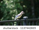 blue jay songbird  perched on... | Shutterstock . vector #1137442835