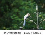 blue jay songbird  perched on... | Shutterstock . vector #1137442838