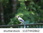 blue jay songbird  perched on... | Shutterstock . vector #1137442862