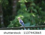 blue jay songbird  perched on... | Shutterstock . vector #1137442865