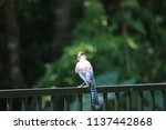 blue jay songbird  perched on... | Shutterstock . vector #1137442868