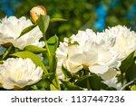 decorative peony flower of... | Shutterstock . vector #1137447236