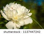 decorative peony flower of... | Shutterstock . vector #1137447242